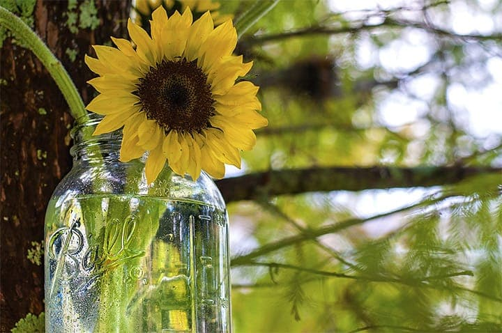 Sunflower In Mason Jar